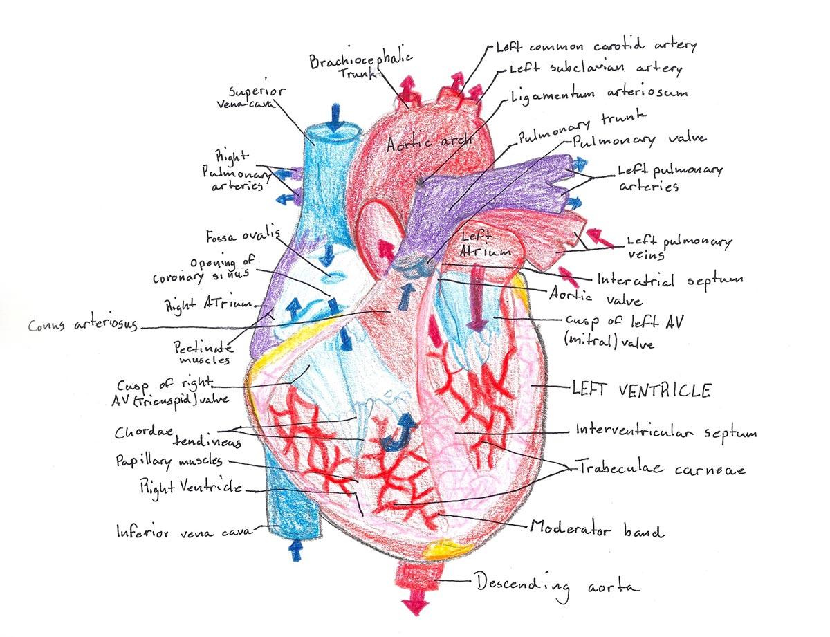 8th Grade Waldorf School Anatomy